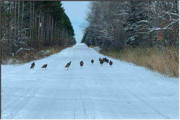 Turkeys on the route