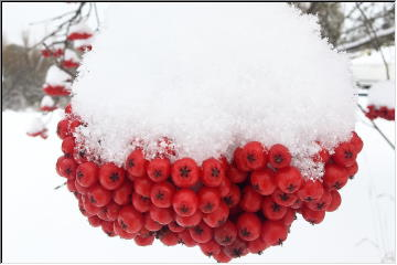 Winter on the berries
