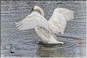 U.P. Swans