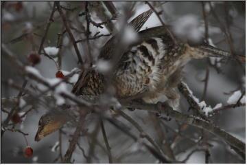 Partridge/Ruffed Grouse