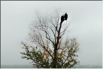 Regal Eagles