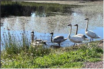Swedetown Swan update