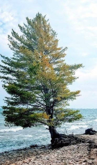 Brunette Park Pine