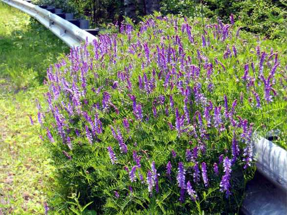 Lupine Guards