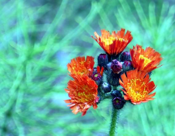 Devils Paintbrush-Orange Hawkweed
