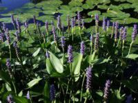 pickerelweed.jpg