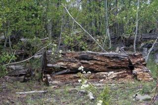 Moose log