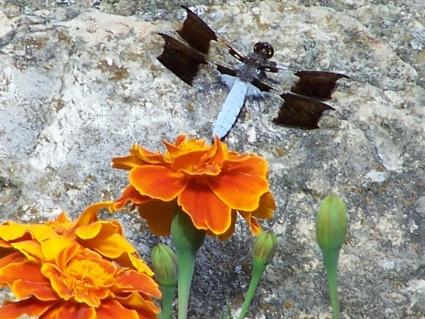 psychadelic dragonfly