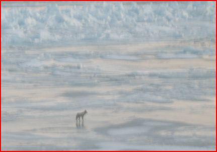 Coyote on Ice Patrol