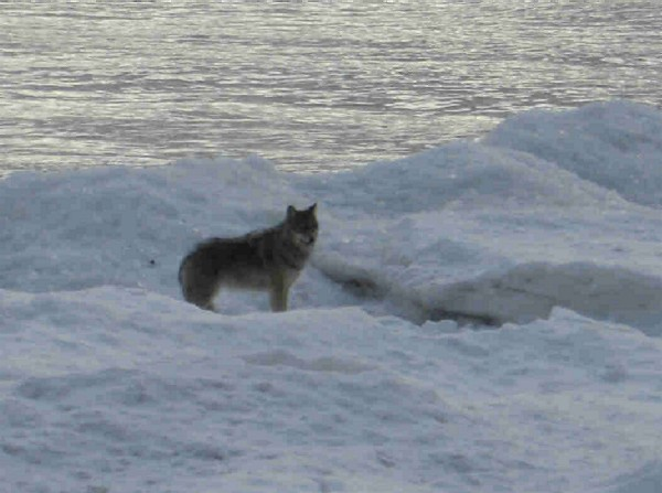 Wolf on the Bay