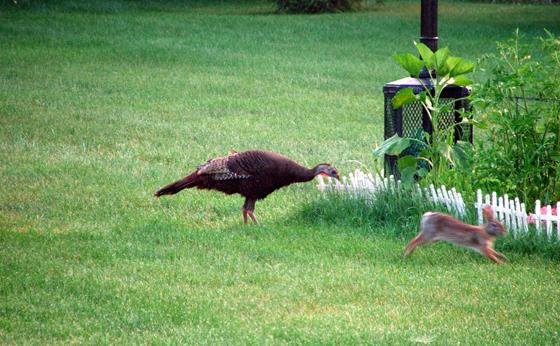 The turkey and the hare!