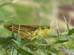 Z-Man's grasshopper!
