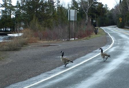 rude geese