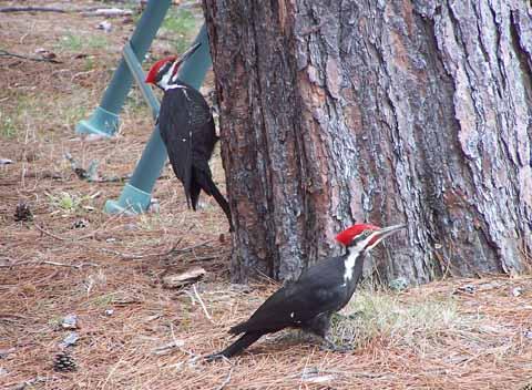 2 woodpeckers