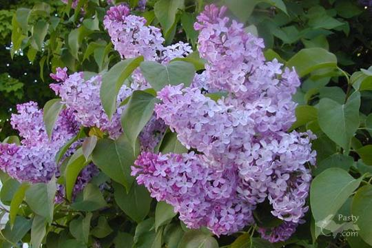 Daryl's lilacs