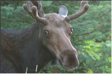 Mr. Moose